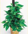 Plant-Pothos