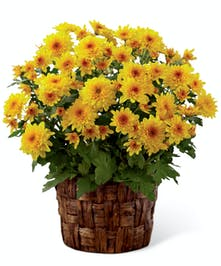 Fall Yellow Mum