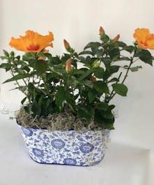 Hibiscus Plant Columubs Ohio Spring Plants Newark Oh