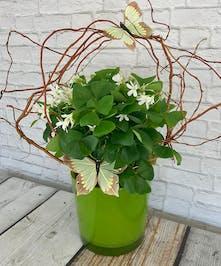 Shamrock Plant st patricks day Columbus flowers