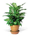 Diffenbachia Plant