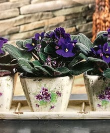 Violet Sweetness Plant Columbus Ohio Florists