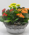 Whitewash Kalanchoe Tin