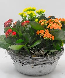 Whitewash Kalanchoe Tin - Columbus (OH) Florist