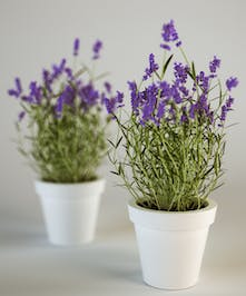 Blooming Lavender Plant Columubs Ohio Spring Plants Newark Oh