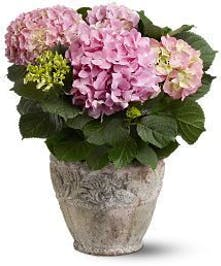 Pink Hydrangea Plant by Columbus Florists, Griffin's Floral Design