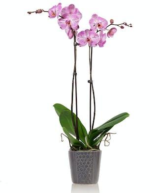 Lavender Phalaenopsis Orchid Plant