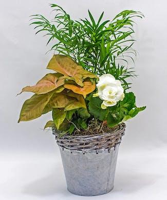 Dish Garden White Wash Garden Tin With Bloomer