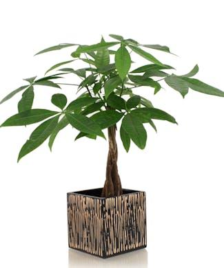 Money Tree Bamboo